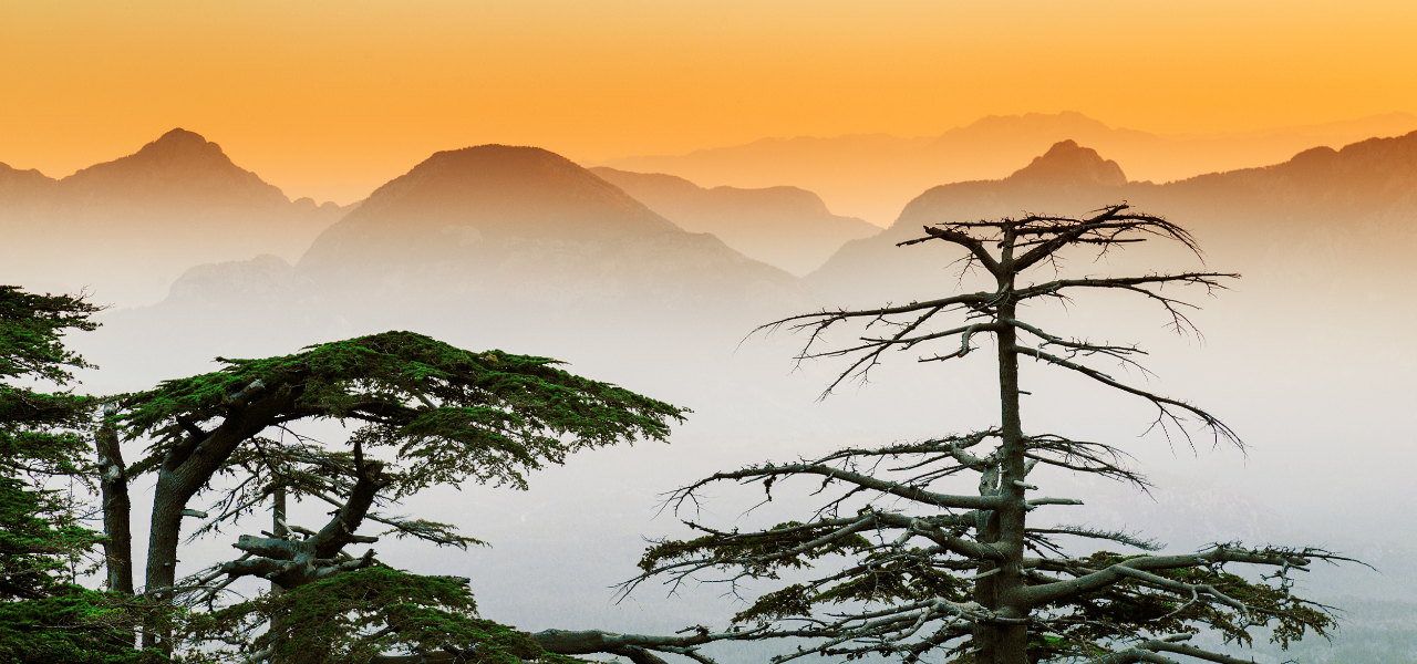 Adopting a cedar tree brings diaspora money home